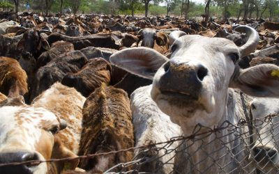LIVING PLANET: INDIA'S PARADOX OF THE HOLY COW